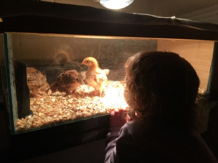 pkb chicks